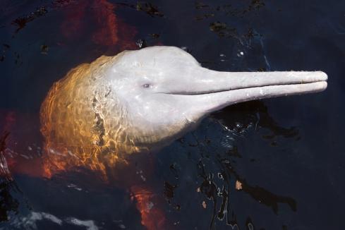 boto dolphin (encantado) eye