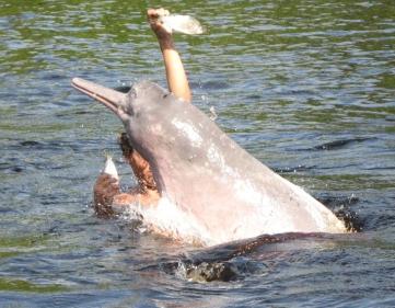 Boto dolphin (encantado)